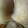 hamser